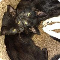 Domestic Shorthair Kitten for adoption in Cincinnati, Ohio - Kylo & Ren
