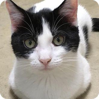 Domestic Shorthair Kitten for adoption in Columbia, Illinois - Harp