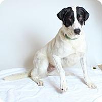 Adopt A Pet :: Lass - Walnut Creek, CA