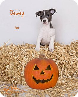 Rat Terrier/Pug Mix Puppy for adoption in Riverside, California - Dewey