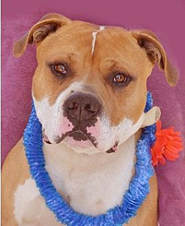 Bulldog Mix Dog for adoption in Littlerock, California - Tyler