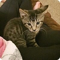 Domestic Shorthair Kitten for adoption in Fort Collins, Colorado - Jake (FORT COLLINS)