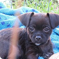 Chihuahua/Cairn Terrier Mix Puppy for adoption in Mission Viejo, California - Judy