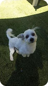Maltese Mix Dog for adoption in Scottsdale, Arizona - Ralphie