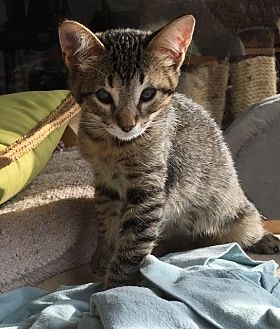 Domestic Shorthair Cat for adoption in Oxnard, California - Ku