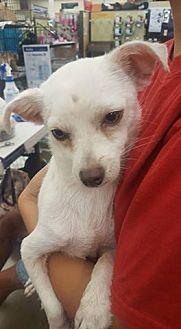 Chihuahua Mix Dog for adoption in Fresno, California - Pablo