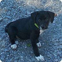 Labrador Retriever Mix Puppy for adoption in Burlington, Vermont - Benedict