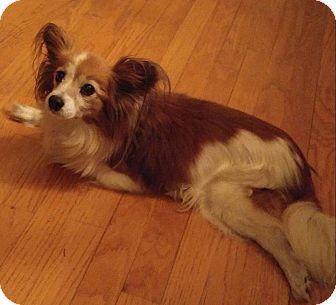 Papillon Dog for adoption in Matthews, North Carolina - Pumpkin Spice Latte