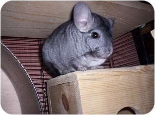 Chinchilla for adoption in Avondale, Louisiana - Charlie