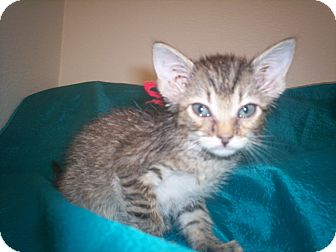 American Shorthair Kitten for adoption in Austin, Texas - Jessie