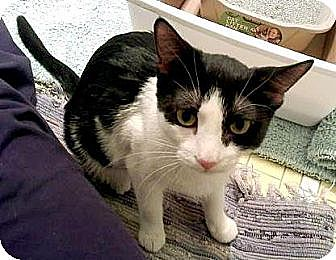 Domestic Shorthair Cat for adoption in Fairfax Station, Virginia - Ruby Too
