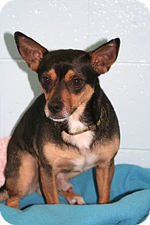 Terrier (Unknown Type, Small) Mix Dog for adoption in Muskegon, Michigan - Baxter