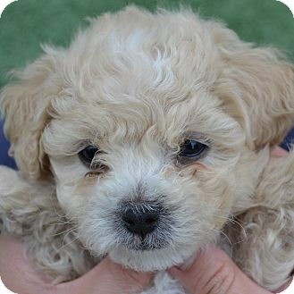 Bichon Frise Mix Puppy for adoption in La Costa, California - Gavin
