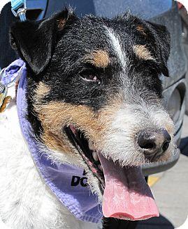 Fox Terrier (Wirehaired)/Fox Terrier (Wirehaired) Mix Dog for adoption in Rigaud, Quebec - Bogart