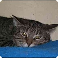 Adopt A Pet :: Rory Gilmore - Lombard, IL