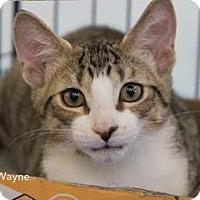 Adopt A Pet :: Wayne - Merrifield, VA