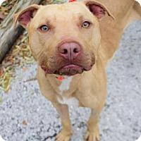 Adopt A Pet :: Maddox - Bradenton, FL