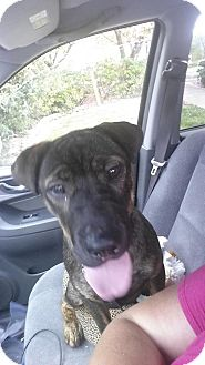 Shar Pei Mix Puppy for adoption in Mira Loma, California - Meiyuh in TN