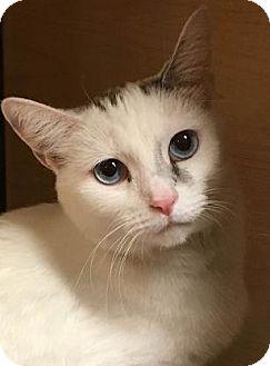 Siamese Cat for adoption in Mesa, Arizona - Adelena