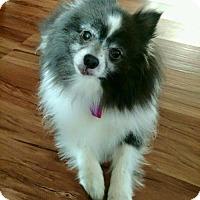 Pomeranian Dog for adoption in Dallas, Texas - Mayor Briley
