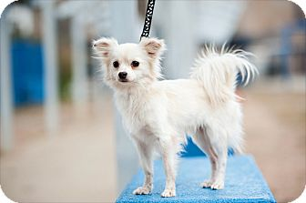 Papillon Mix Dog for adoption in Houston, Texas - Tad