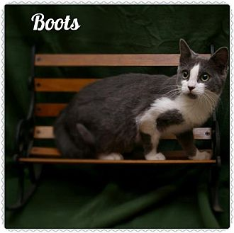 Domestic Shorthair Cat for adoption in Island Heights, New Jersey - Boots