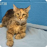 Domestic Mediumhair Cat for adoption in St. Peters, Missouri - MOXIE