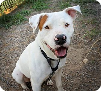 American Staffordshire Terrier Mix Dog for adoption in Olympia, Washington - Denver