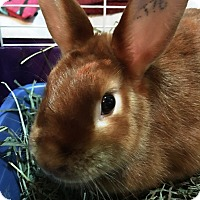 Adopt A Pet :: Ginger - Edinburg, PA