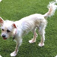 Adopt A Pet :: Priscilla - been through a lot - Bedminster, NJ