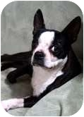 Boston Terrier Dog for adoption in St. Louis, Missouri - Peggy Boston