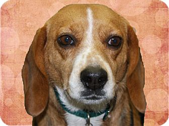 Beagle Dog for adoption in Portland, Oregon - Stormy