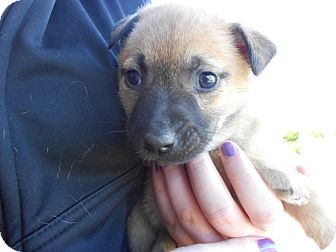 Collie Mix Puppy for adoption in Atascadero, California - Miranda