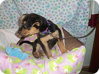 Terrier (Unknown Type, Medium) Mix Puppy for adoption in Waldorf, Maryland - Quick #336
