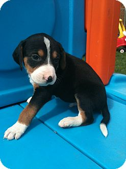Hound (Unknown Type) Mix Puppy for adoption in Linton, Indiana - Willis