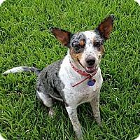 Adopt A Pet :: Cherokee (female - Houston, TX