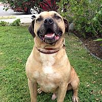 Staffordshire Bull Terrier/Labrador Retriever Mix Dog for adoption in Canoga Park, California - Bogie