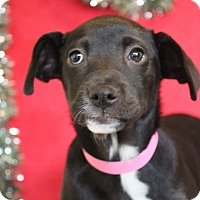 Adopt A Pet :: Izzy - Waldorf, MD