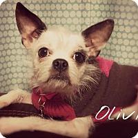 Adopt A Pet :: Olivia - Georgetown, KY