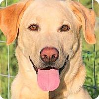 Adopt A Pet :: CHEX(BEAUTIFUL PB LAB!! - Wakefield, RI