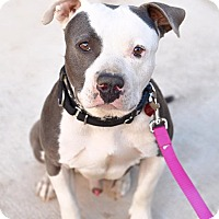 American Pit Bull Terrier Mix Dog for adoption in Los Angeles, California - PJ
