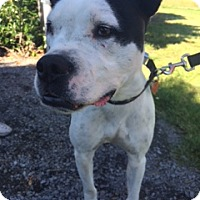 Pit Bull Terrier/Boxer Mix Dog for adoption in Vancouver, Washington - Greta