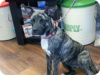 Boxer/Plott Hound Mix Dog for adoption in Silver Spring, Maryland - Shelby