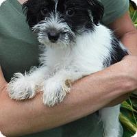 Adopt A Pet :: Nessi - Manchester, NH