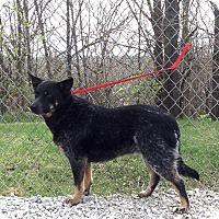Blue Heeler Mix Dog for adoption in Atchison, Kansas - Blu
