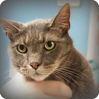 Domestic Shorthair Cat for adoption in Glen Mills, Pennsylvania - Caterina