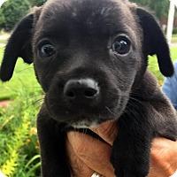Adopt A Pet :: Nina - Danbury, CT