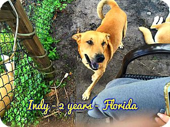 Carolina Dog Mix Dog for adoption in Cranston, Rhode Island - Indy (fostered in FL)