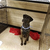 Adopt A Pet :: Dex - Las Vegas, NV