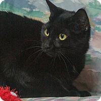 Domestic Shorthair Cat for adoption in Elmwood Park, New Jersey - Jem